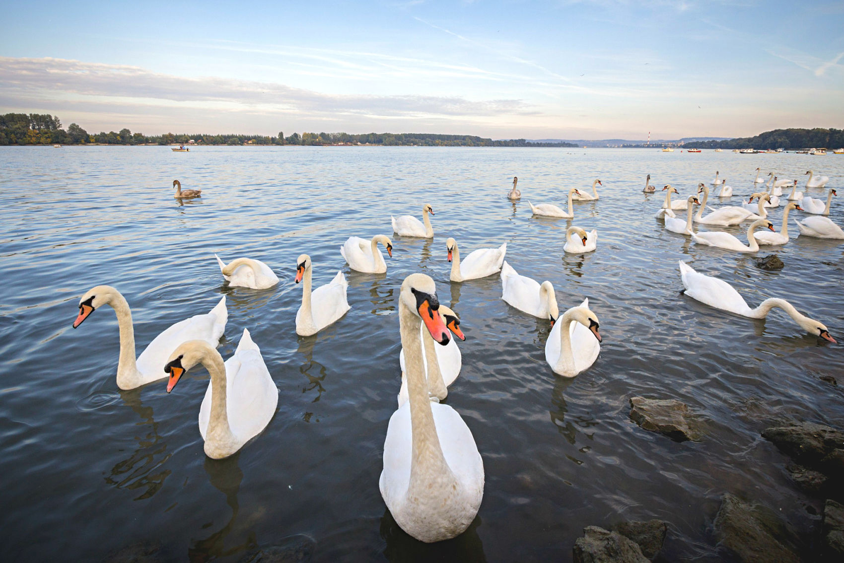 Feeding swans in Zemun,Belgrade